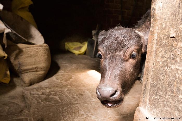 Коровья ферма в Варанаси (1) (700x466, 270Kb)