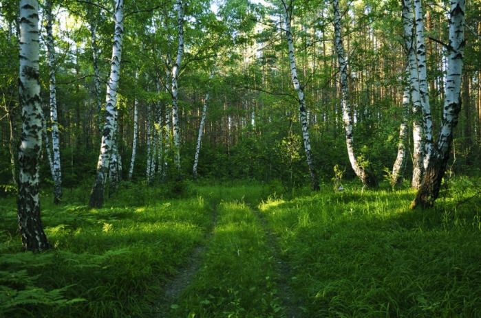 Birch (700x463, 750KB)