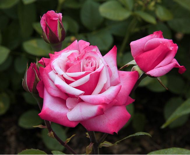 0_c5eb6_4b477916_роза (652x533, 141Kb)