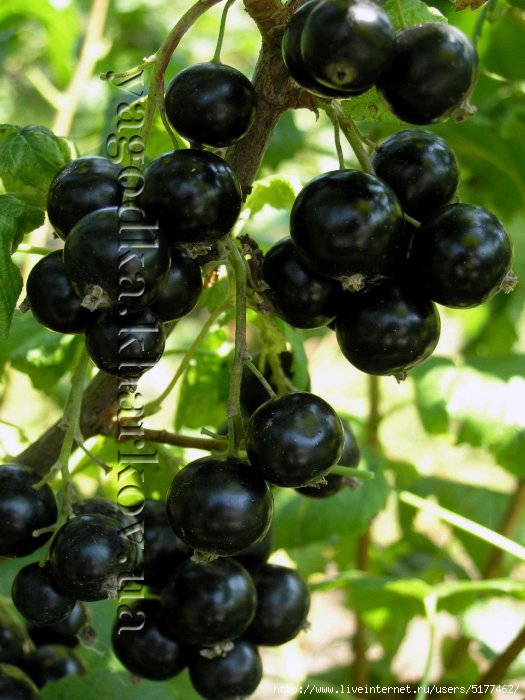 5177462_75101737_phoca_thumb_l_Blackcurrant1 (525x700, 189Kb)