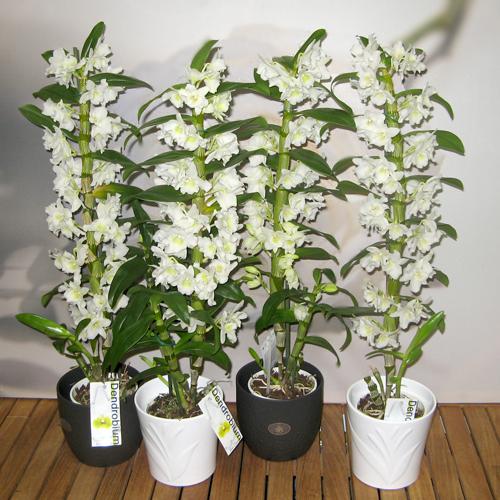 dendrobium nobile white (500x500, 305Kb)