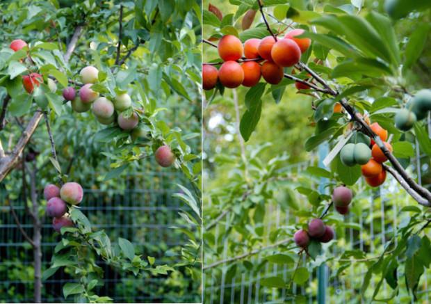 плоды (620x437, 307Kb)