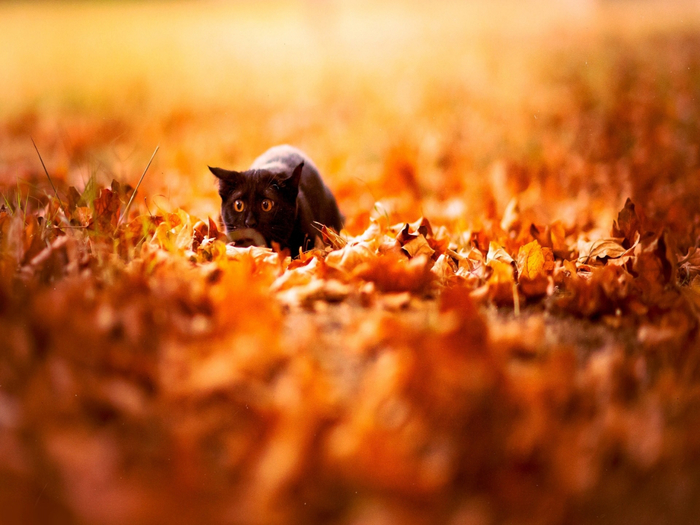 53553-autumn-cats-wallpoper-1440x1080 (700x525, 383Kb)