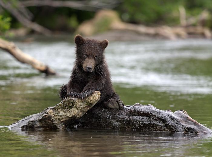 медвежонок-Природа-красота-совсем-один-497316 (700x517, 315Kb)