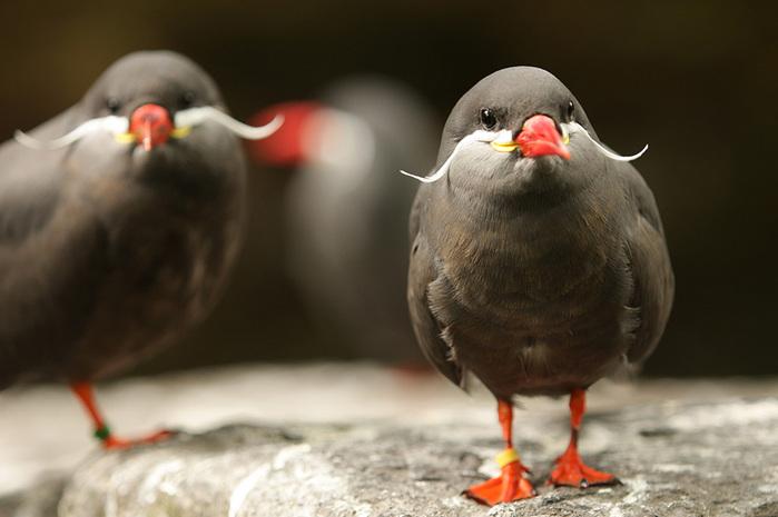 mustached-bird-1 (700x465, 88Kb)