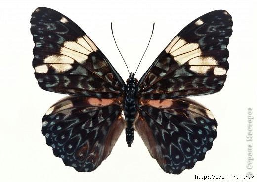 фото бабочки, фото бабочек, картинки с бабочками, раскраски бабочки, картинки для детей бабочки, как нарисовать бабочку, бабочки для рукоделия, Хьюго Пьюго бабочка,
