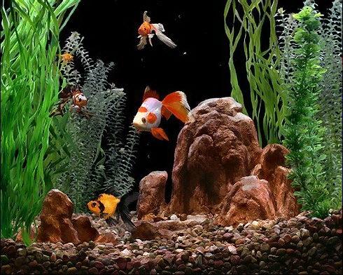 красивый аквариум с золотыми рыбками2 (490x392, 192Kb)