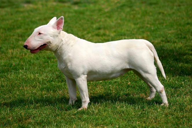 Dangerous dogs in the UK  Dangerous dogs in England