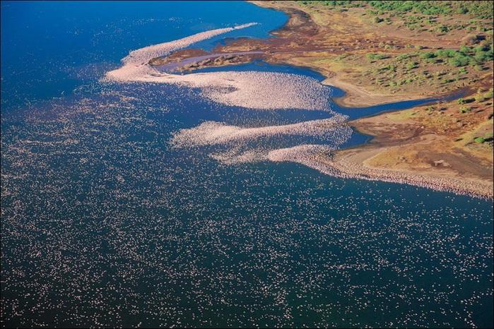 1-Миллионы фламинго на озере Накуру в Кении (800x566, 197Kb)