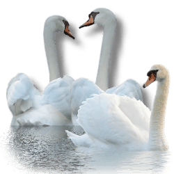 3996605_Swan_by_MerlinWebDesigner (250x250, 28Kb)
