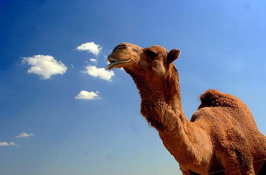 верблюд1 (550x362, 34Kb)