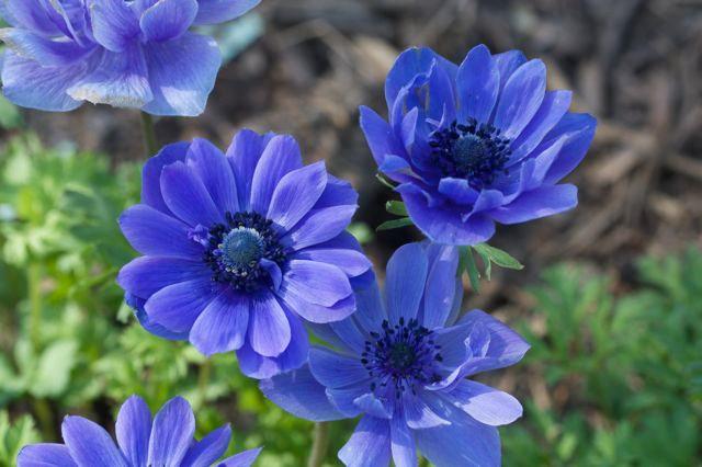 Садовые цветы синего цвета