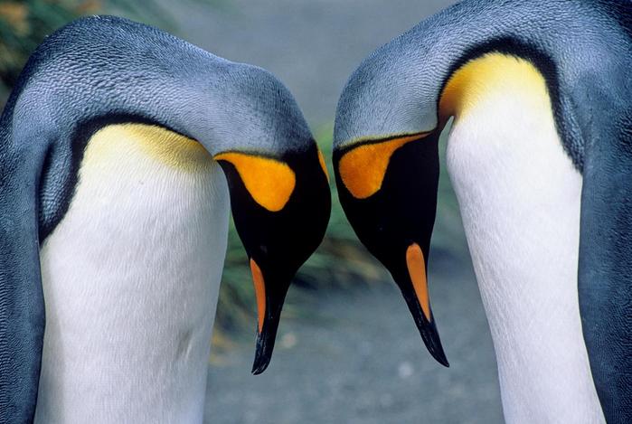 king_penguins (700x469, 296Kb)