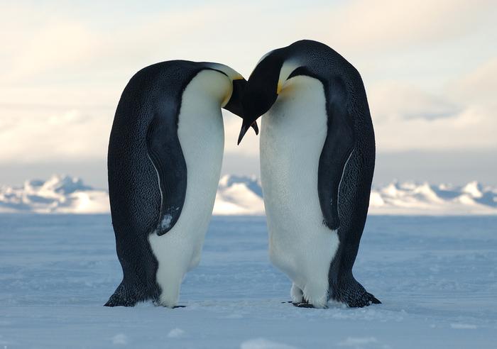 Emperor_Penguins (700x492, 224Kb)