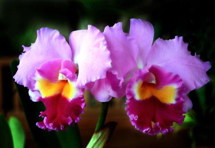 как поливать орхидеи (700x484, 223Kb)
