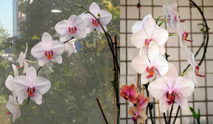 3979564_orhideja5 (700x410, 43Kb)
