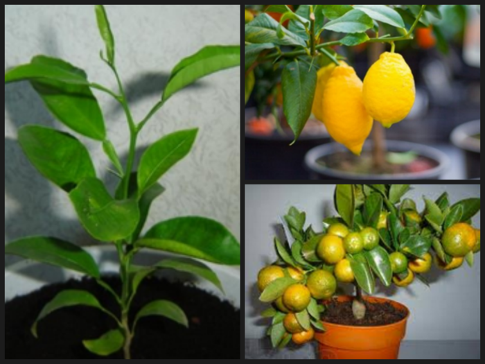 Апельсин выращивание в домашних условиях из косточки 215