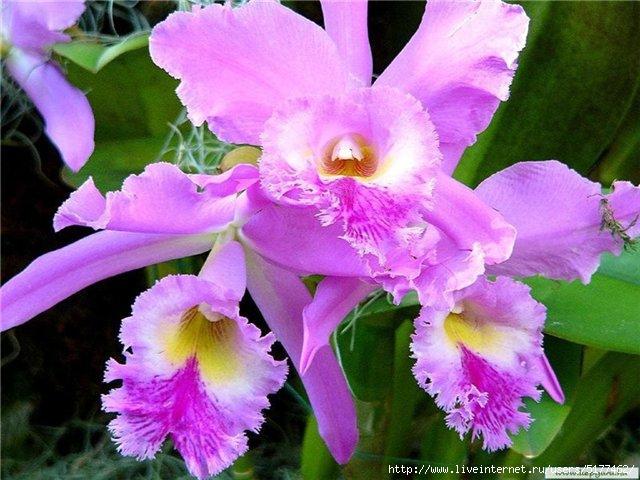 Обои Орхидеи для рабочего стола/5177462_original_2_ (640x480, 178Kb)
