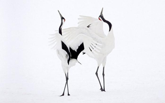 танец птиц (700x437, 29Kb)