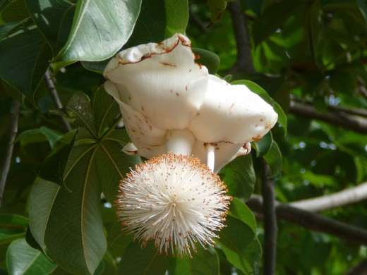 Baobab (520x390, 177Kb)