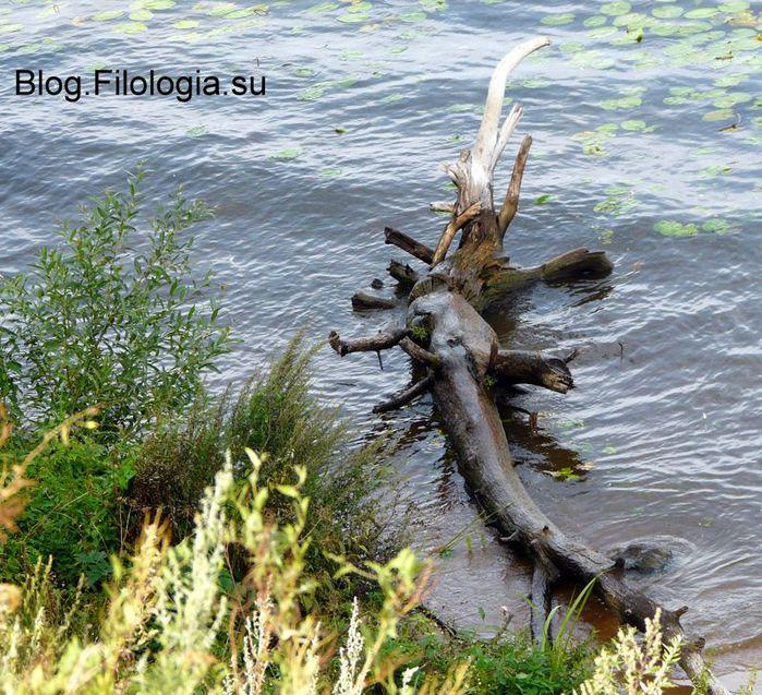 Коряга, похожая на крокодила. Снимок сделан в Москве в Строгино летом 2014.