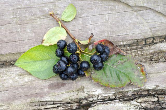 Черноплодная рябина. Как справиться с урожаем осенних ягод