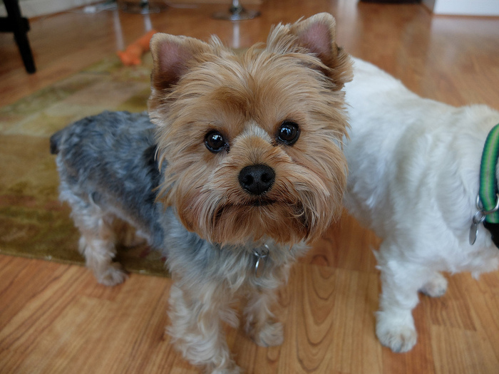 1-Собака породы йоркширский терьер (700x525, 159Kb)