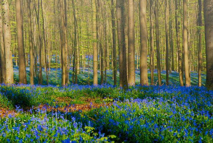Лес колокольчиков из Халлербоса, Бельгия Фотографии