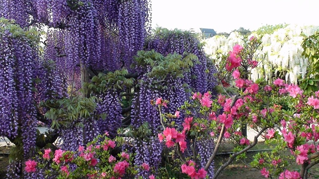 Ashikaga Flower Park (650x366, 160Kb)
