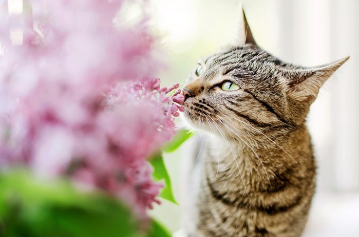3085196_Cats_Sniffing_Flowers_02 (700x463, 61Kb)