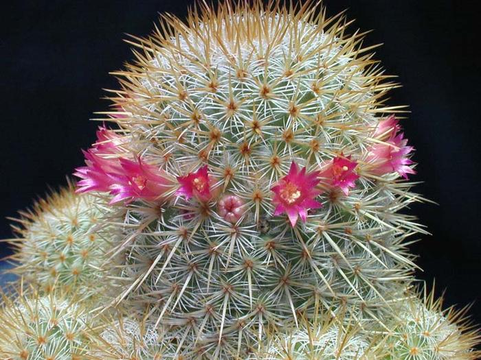 Mammillaria-flavicentra (700x525, 450Kb)