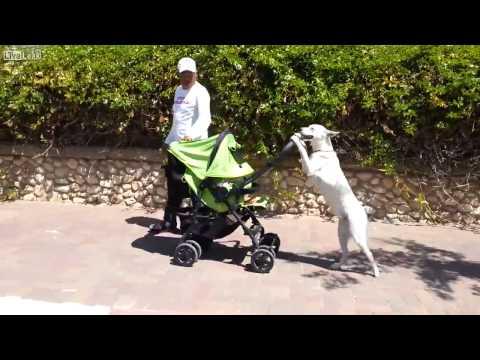 Собака возит ребенка в коляске