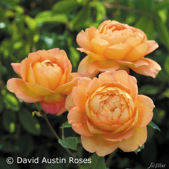 Роза lady of shalott отзывы
