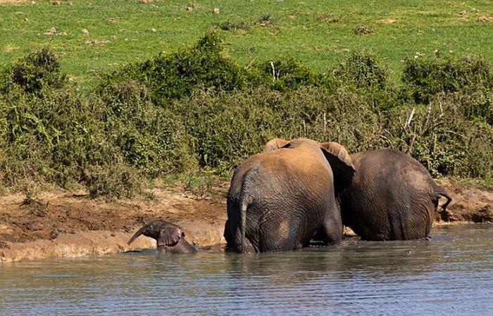 спасение слоненка фото 1 (700x449, 435Kb)
