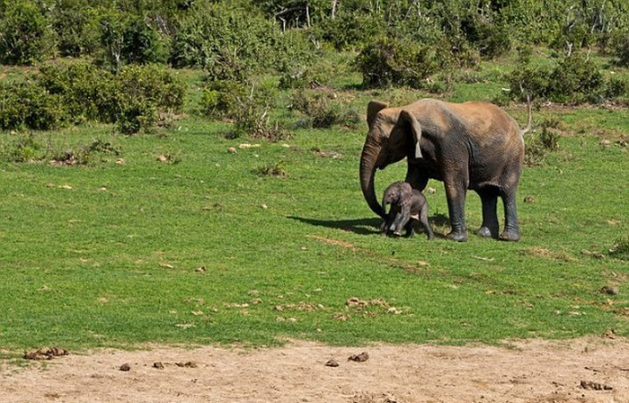 спасение слоненка фото 9 (700x448, 405Kb)