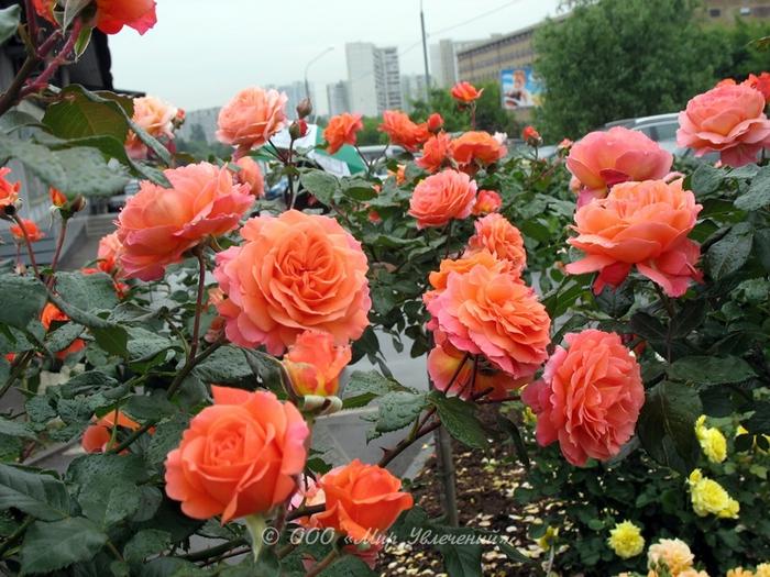 rose_Belvedere_1 (700x525, 333Kb)