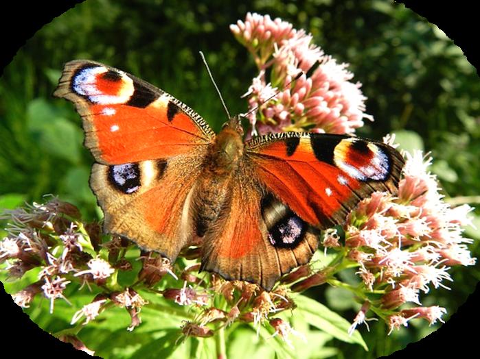 butterfly-176156_640 (700x524, 726Kb)