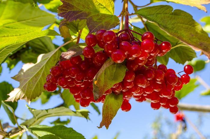http://img0.liveinternet.ru/images/attach/c/11/117/115/117115740_kalinavmezhdureche.jpg