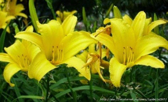 1-2-flor amarilis (700x426, 144Kb)