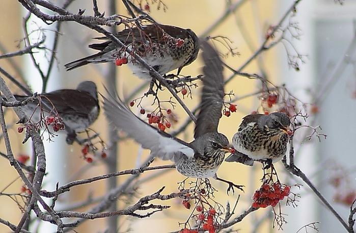 птицы и рябина (700x457, 111Kb)