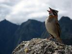 ������ sparrowsingingonmountain_12770_600x450-1 (600x450, 153Kb)
