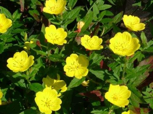Цветки энотеры располагаются