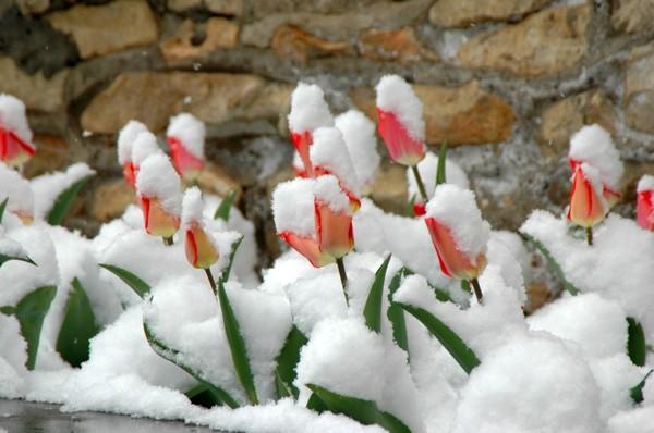 тюльпаны под снегом (600x398, 59Kb)