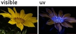 ������ vis-uv-flower (300x136, 27Kb)