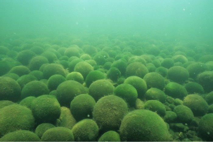 водоросли Эгагропила Линнея 1 (700x469, 200Kb)