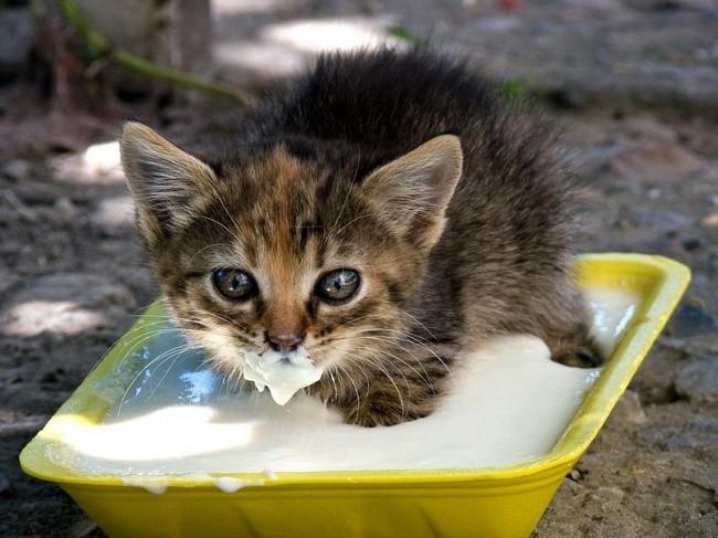 5698144_kittenfood_big (650x487, 84Kb)