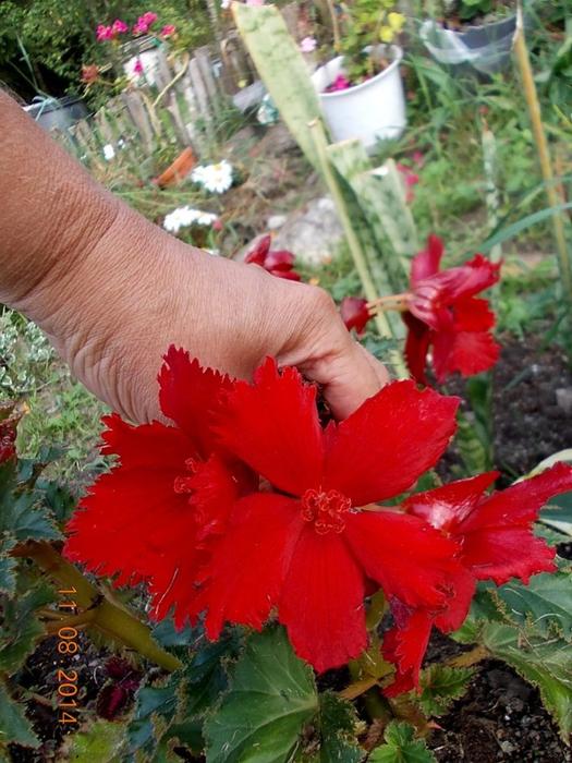Фото цветка похожий на бегонию