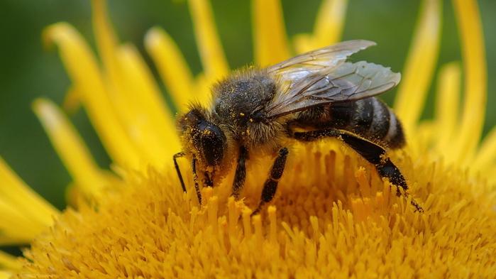 Абхазская пчела (700x393, 160Kb)