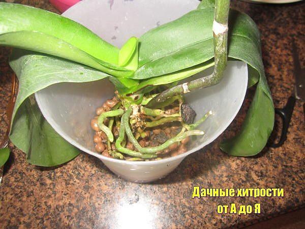 Как пересадить орхидею фаленопсис в домашних условиях пошаговое