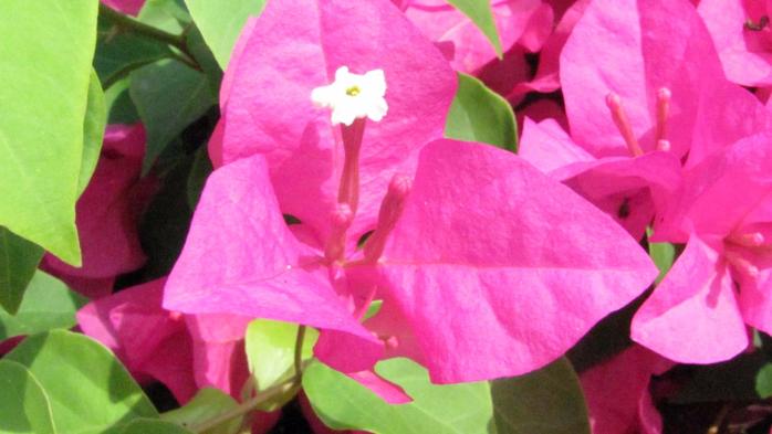 flowers_thailand_beauty_1600x900_hd-wallpaper-275165 (700x393, 314Kb)